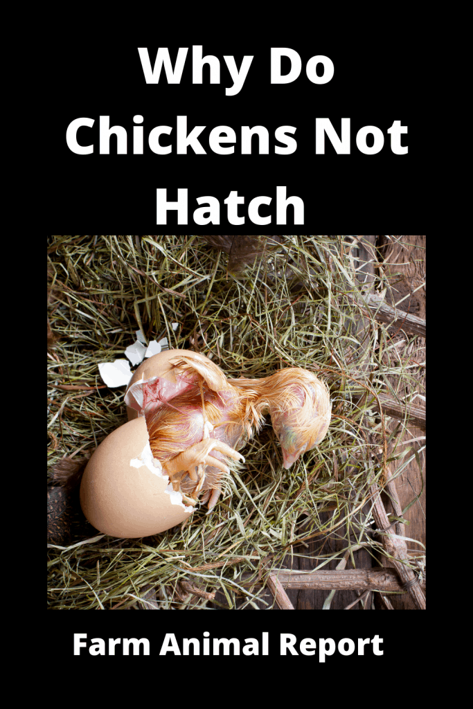 Why Do Chickens Not Hatch (With Videos) 1
