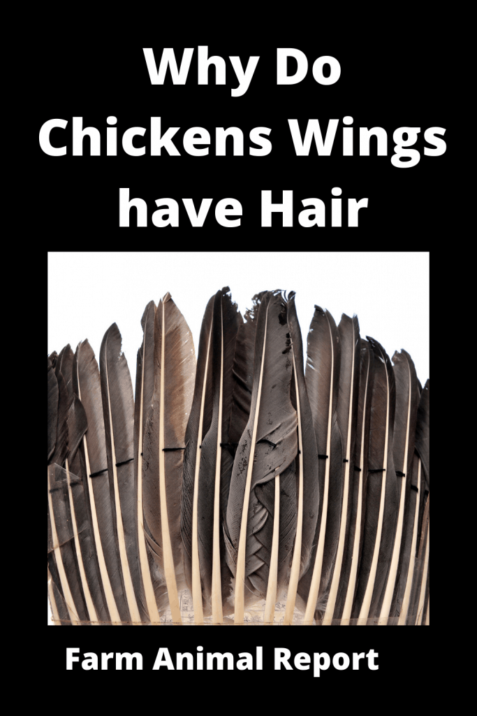 Why Do Chickens Wings have Hair - Ultimate Feather Guide 2