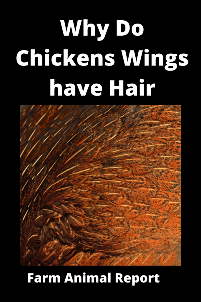 Why Do Chickens Wings have Hair - Ultimate Feather Guide 3