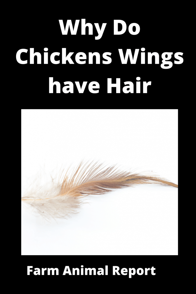 Why Do Chickens Wings have Hair - Ultimate Feather Guide 4