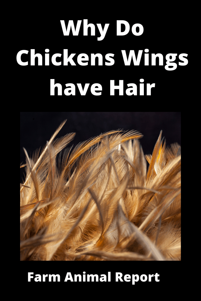 Why Do Chickens Wings have Hair - Ultimate Feather Guide 1