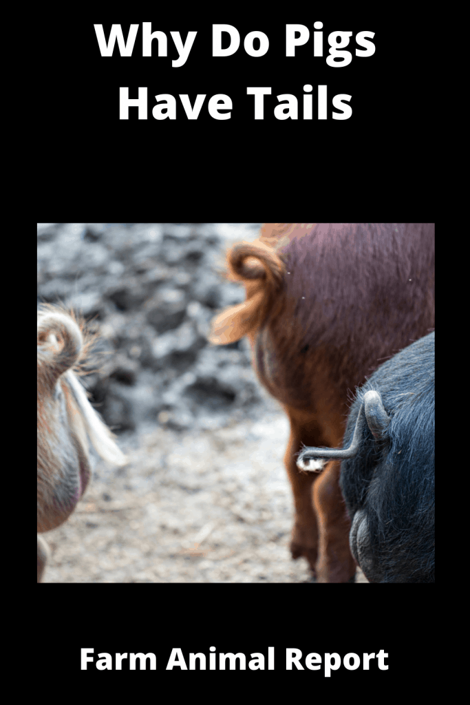 Why Do Pigs Have Tails? 3