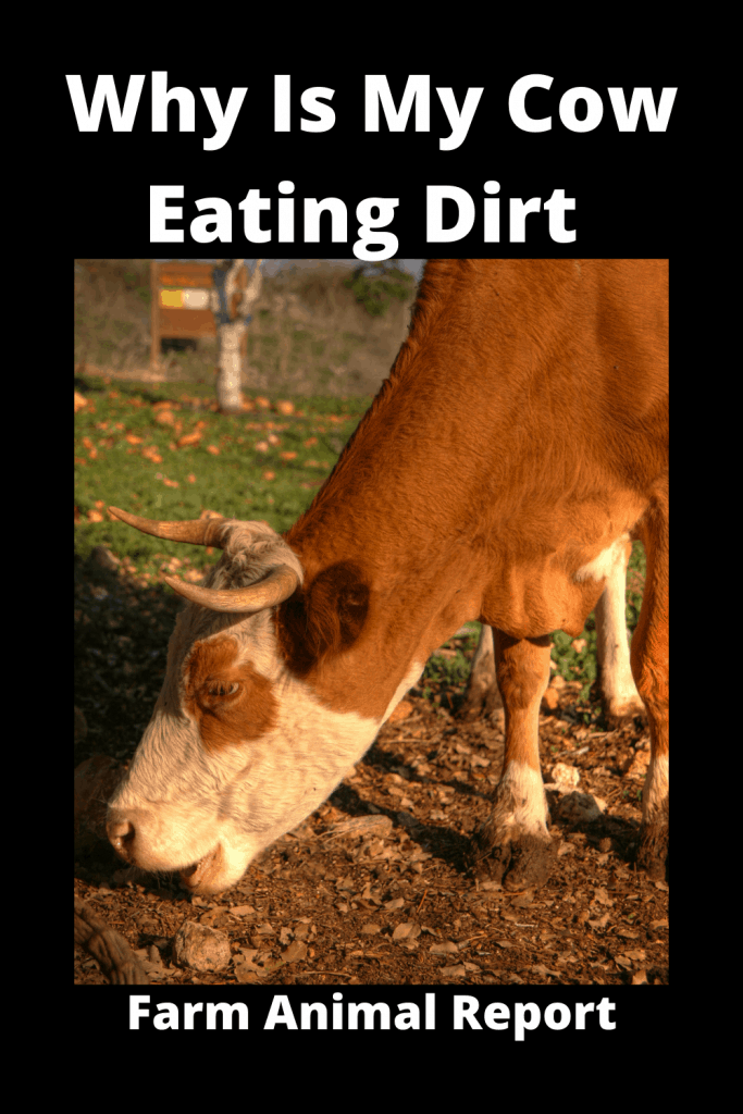Why Is My Cow Eating Dirt (with 9 Videos) 1