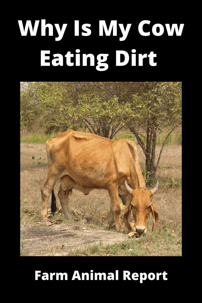 Why Is My Cow Eating Dirt (with 9 Videos) 3