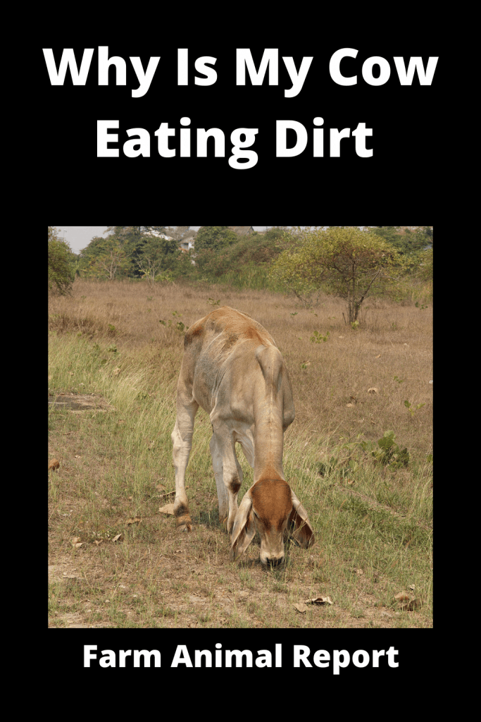 Why Is My Cow Eating Dirt (with 9 Videos) 4