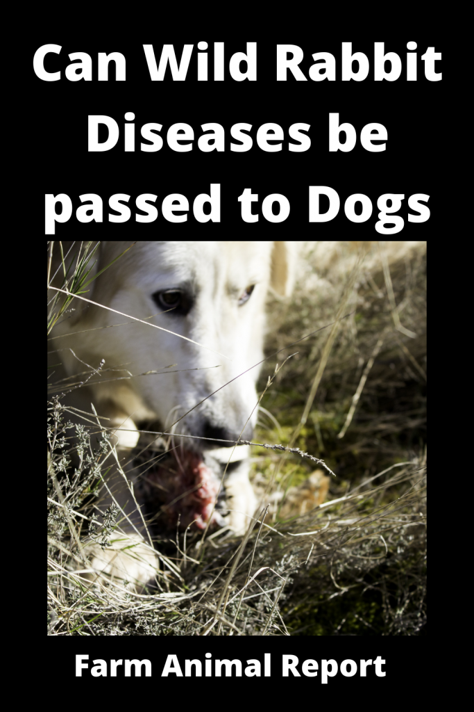 Can Wild Rabbit Diseases be passed to Dogs 2