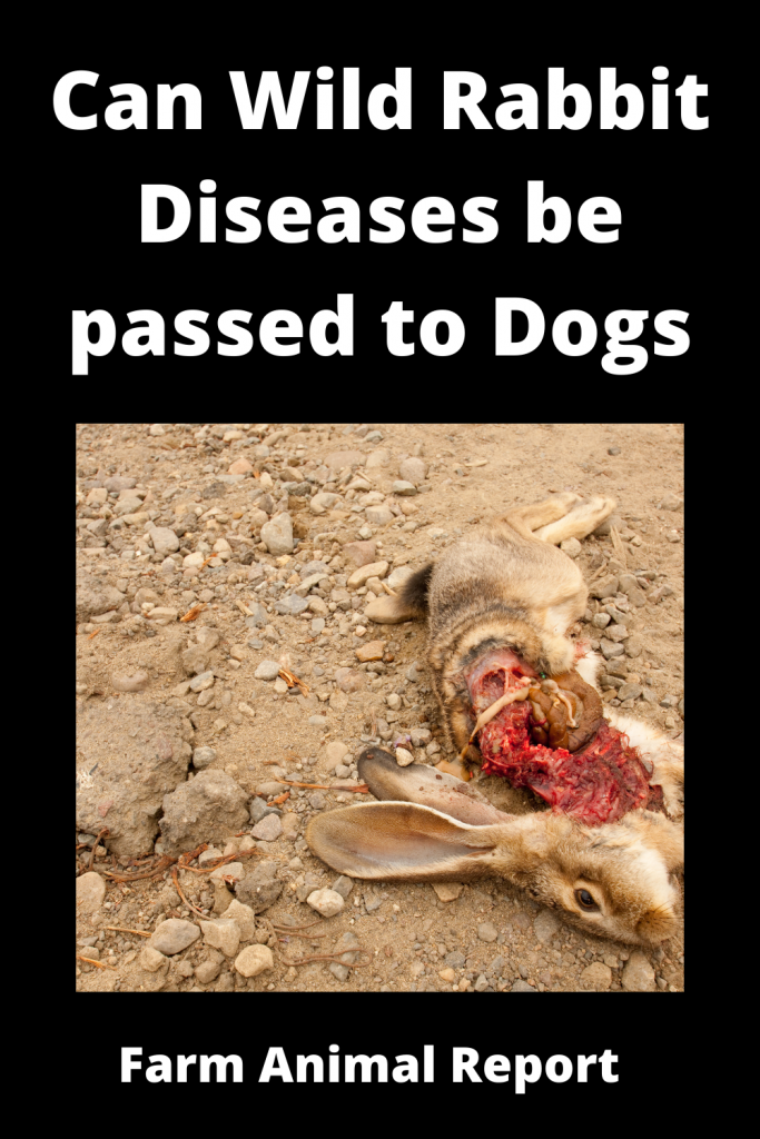 Can Wild Rabbit Diseases be passed to Dogs 3