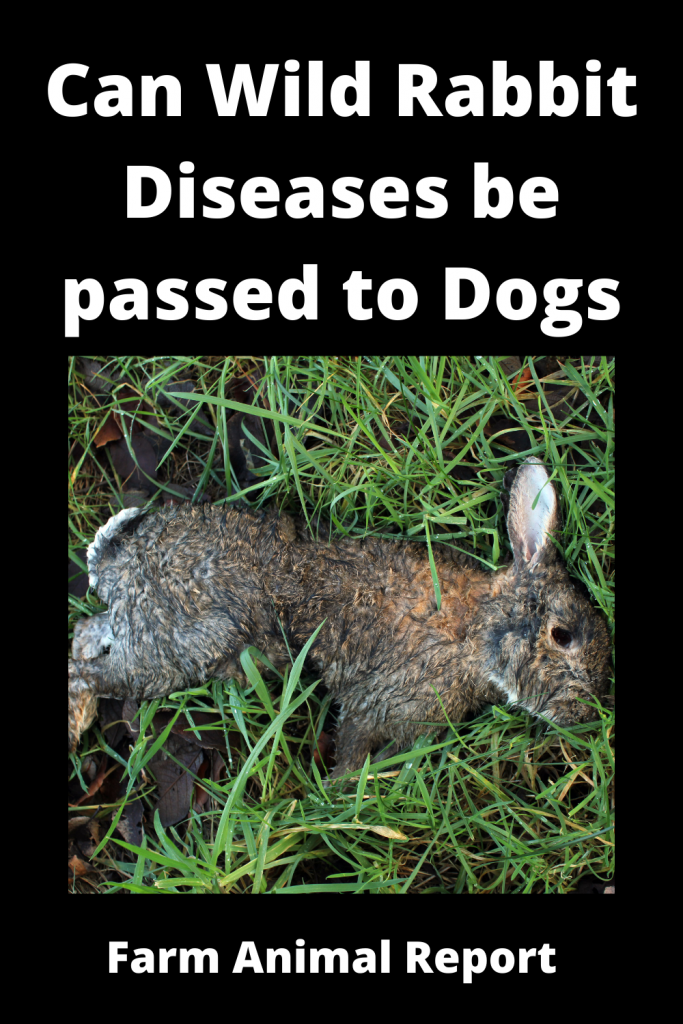 Can Wild Rabbit Diseases be passed to Dogs 4