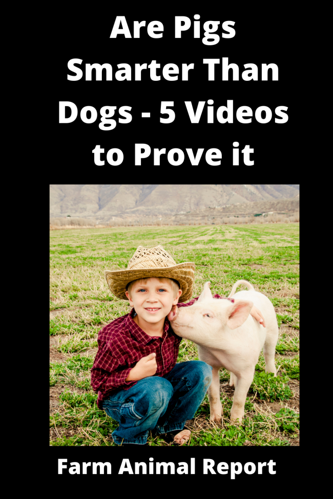 Are Pigs Smarter Than Dogs - 5 Videos to Prove it 2