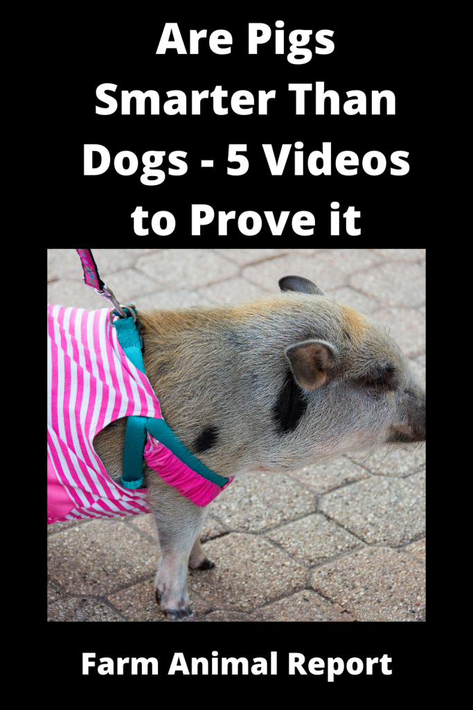 Are Pigs Smarter Than Dogs - 5 Videos to Prove it 3