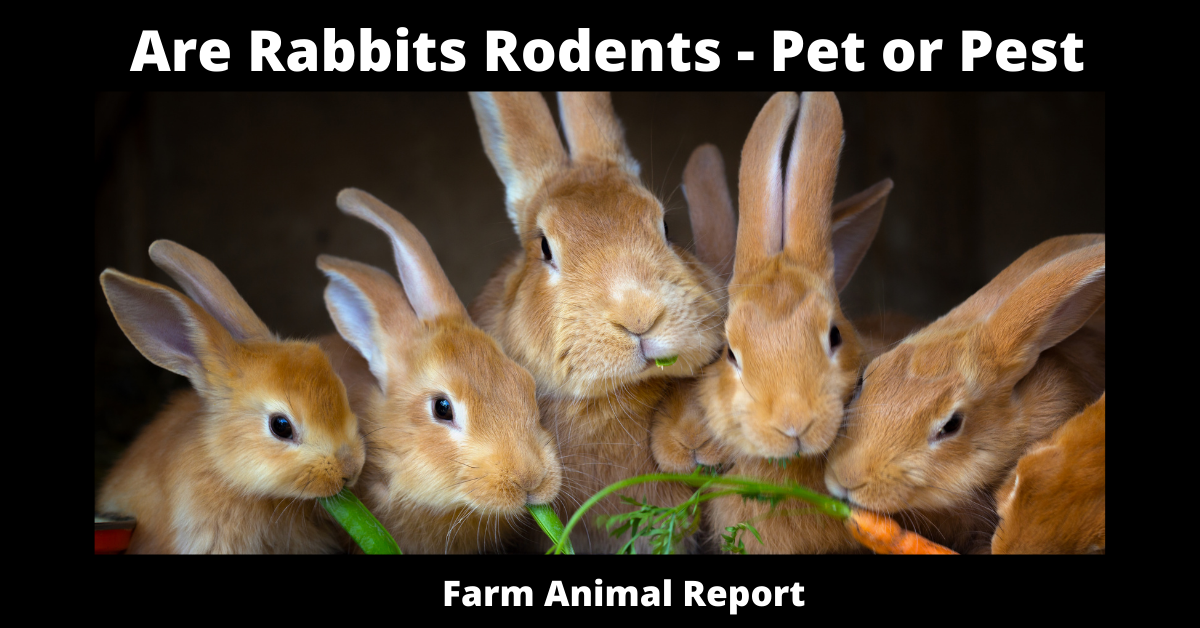 Are Rabbits Rodents - Pet or Pest