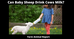 Can Baby Sheep Drink Cows Milk?