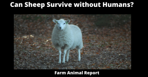 Can Sheep Survive without Humans?