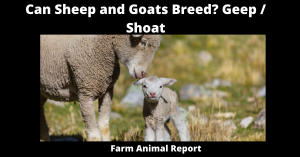 Can Sheep and Goats Breed? Geep / Shoat