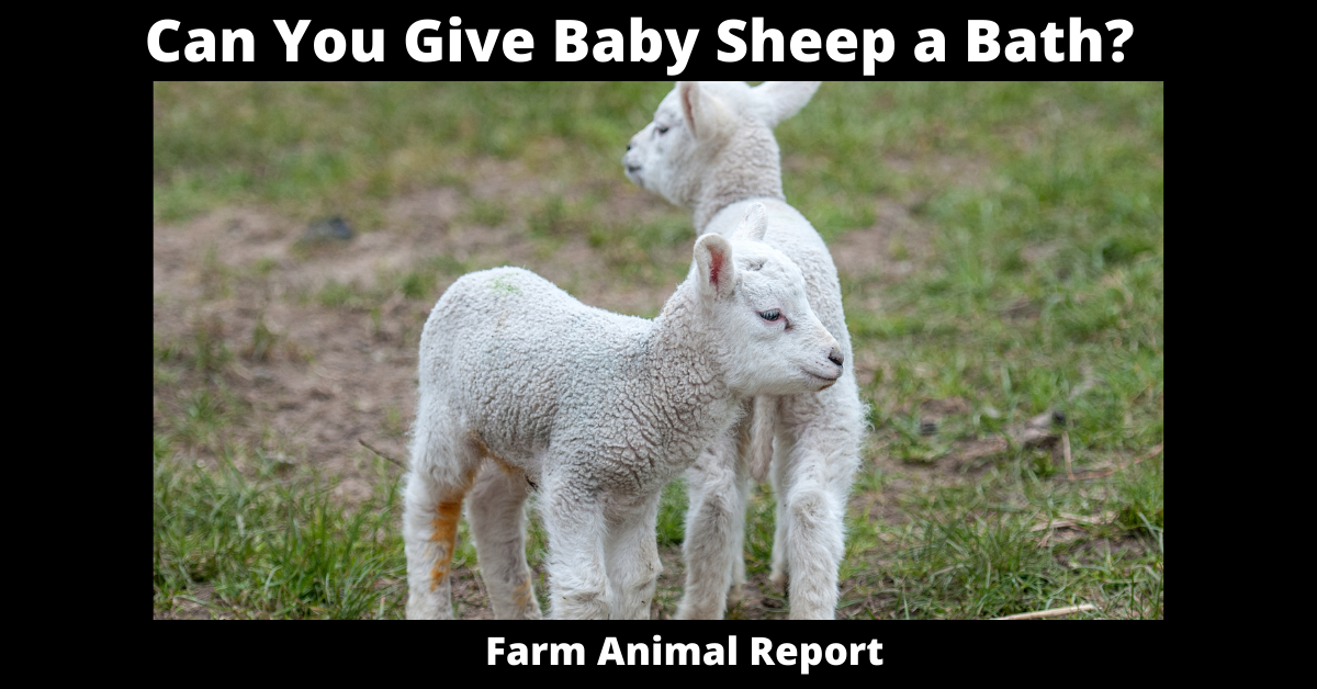 Can You Give Baby Sheep a Bath