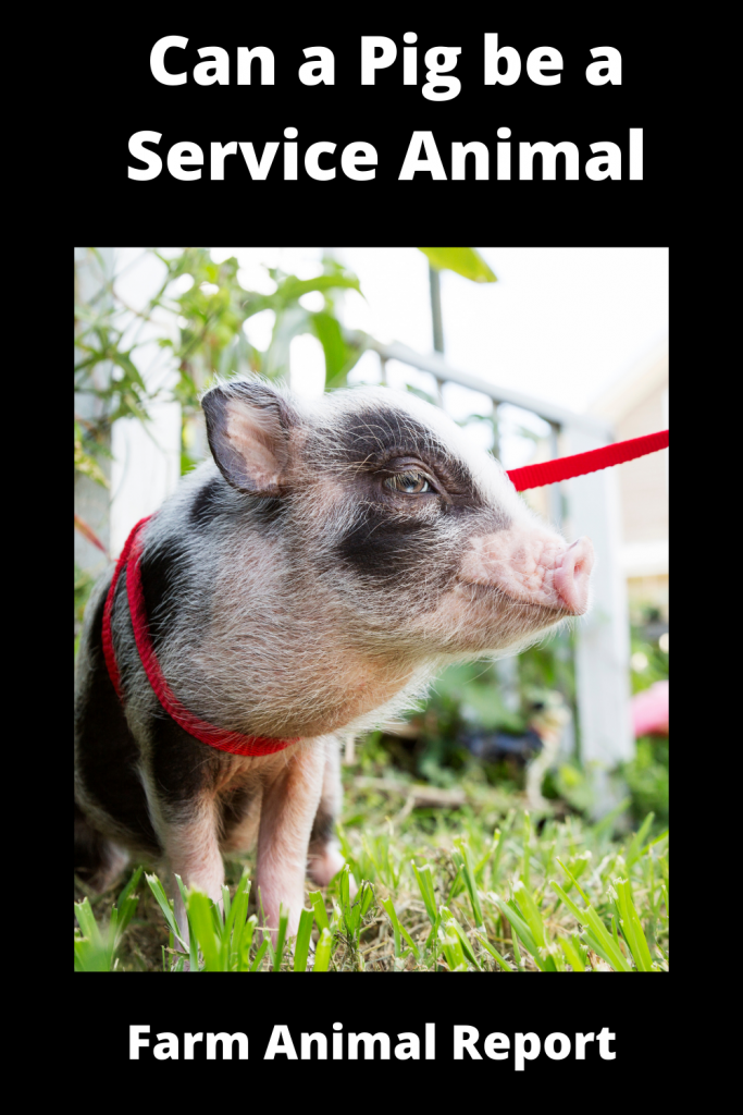 Can a Pig be a Service Animal - What You Need to Know 2