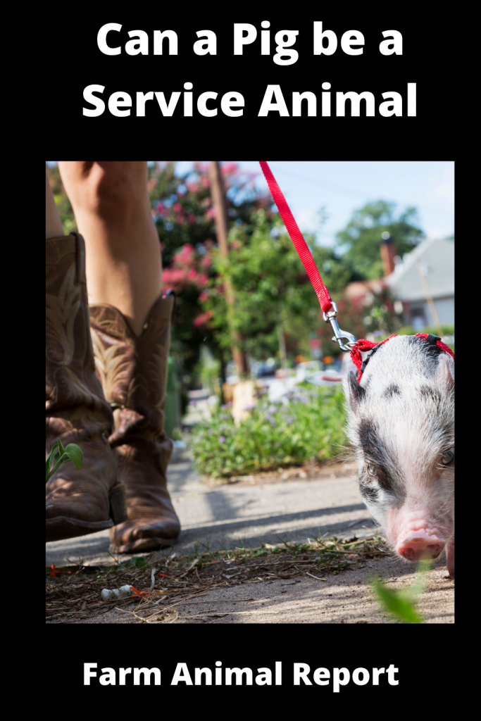 Can a Pig be a Service Animal - What You Need to Know 3