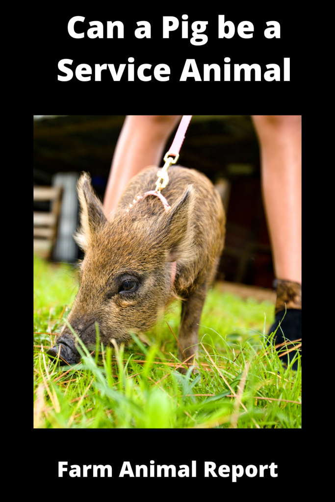 Can a Pig be a Service Animal - What You Need to Know 1
