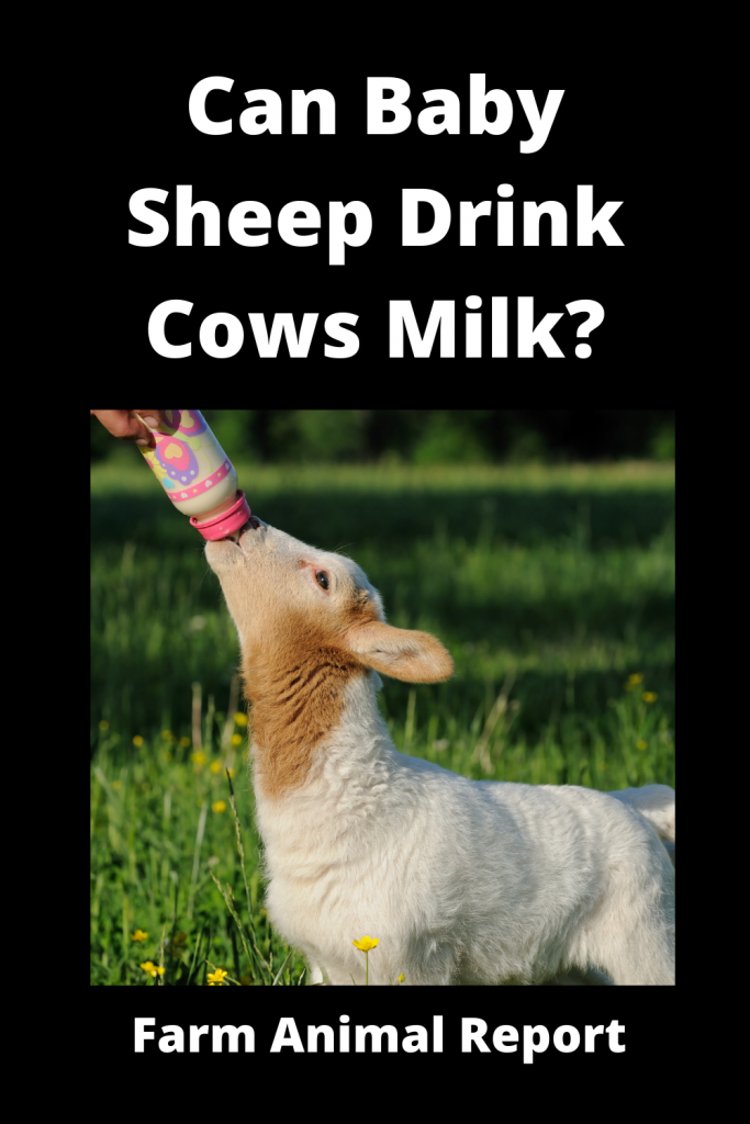 Can Baby Sheep Drink Cows Milk? 3