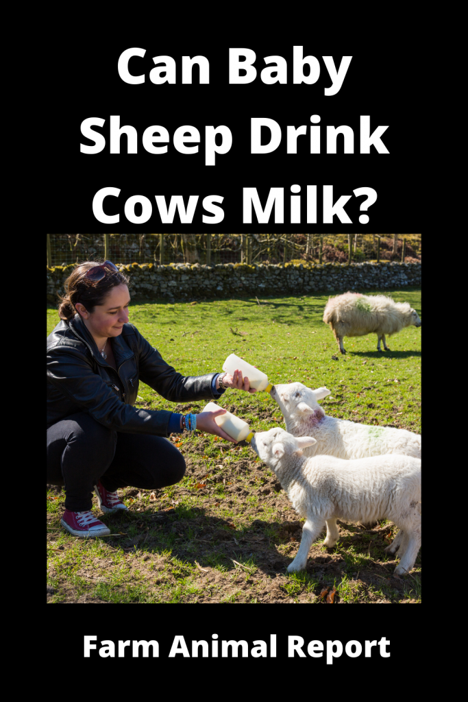Can Baby Sheep Drink Cows Milk? 4