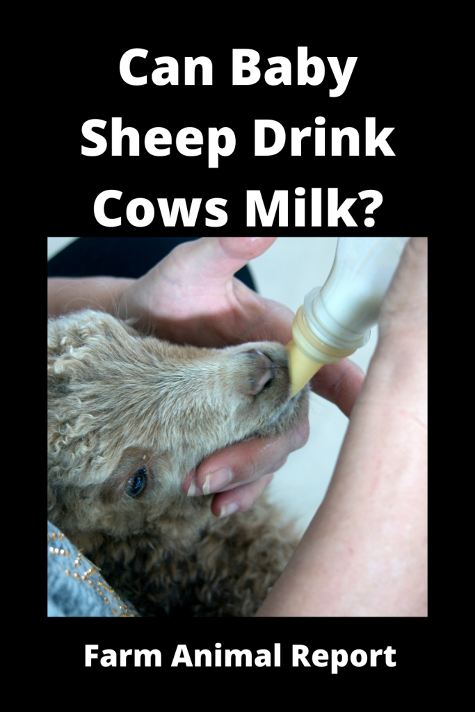 Can Baby Sheep Drink Cows Milk? 1