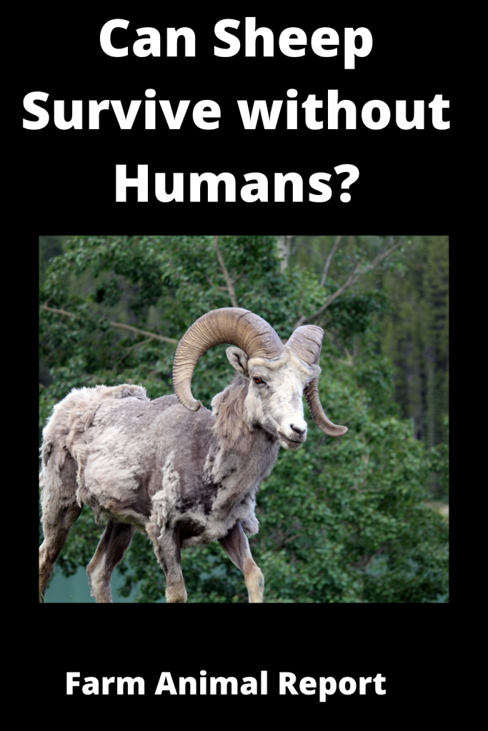 Can Sheep Survive without Humans? 2