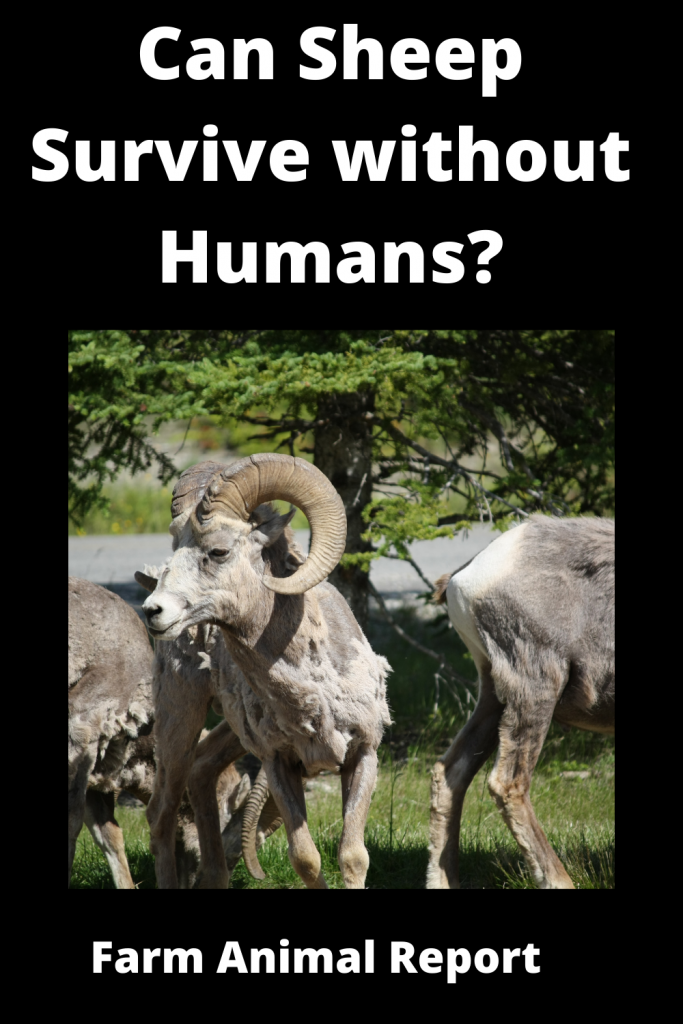 Can Sheep Survive without Humans? 3