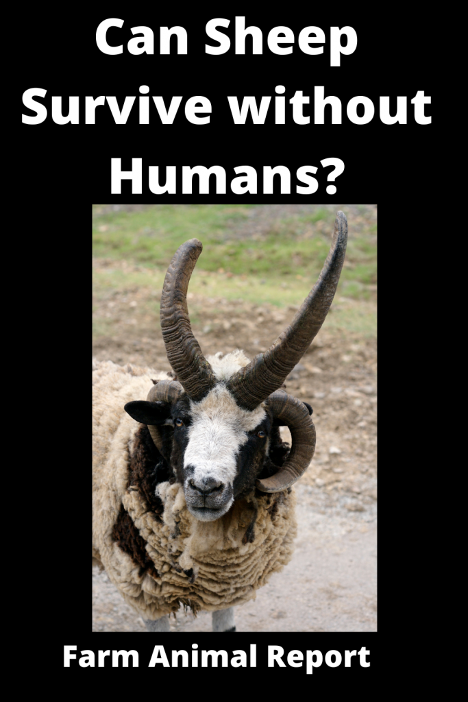 Can Sheep Survive without Humans? 1