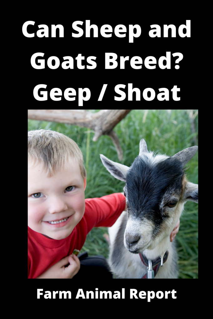 Can Sheep and Goats Breed? Geep / Shoat 3