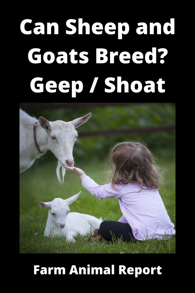 Can Sheep and Goats Breed? Geep / Shoat 4