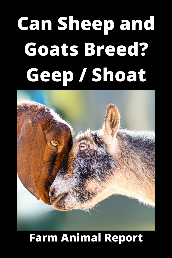 Can Sheep and Goats Breed? Geep / Shoat 1