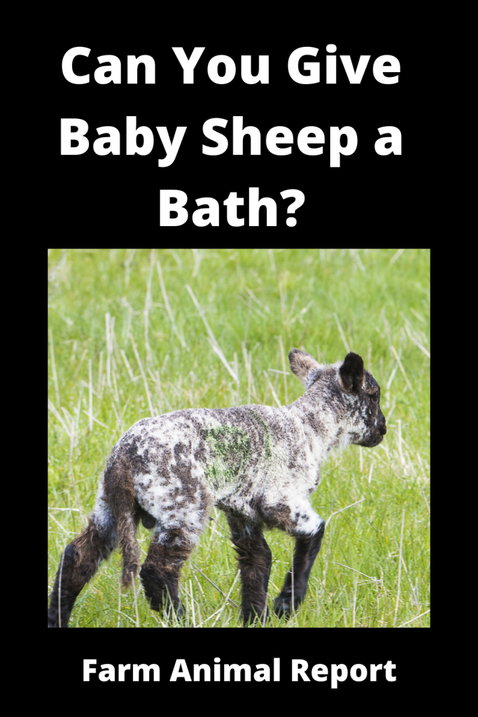 Can You Give Baby Sheep a Bath? 2