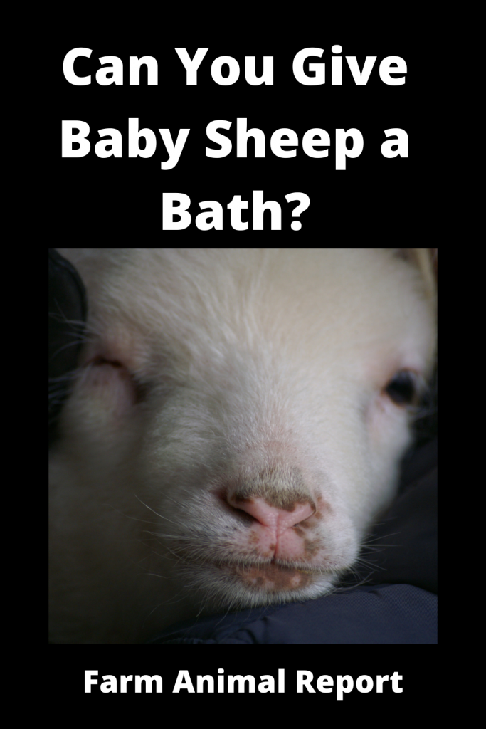 Can You Give Baby Sheep a Bath? 3