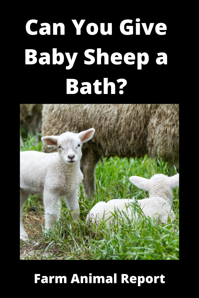 Can You Give Baby Sheep a Bath? 4