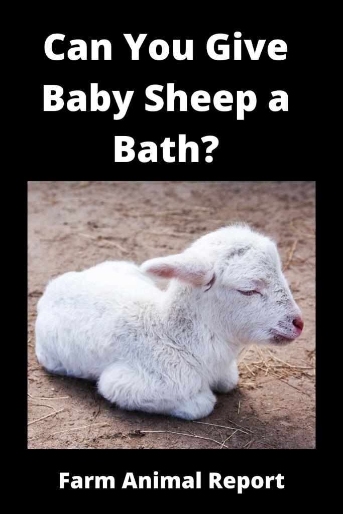 Can You Give Baby Sheep a Bath? 1