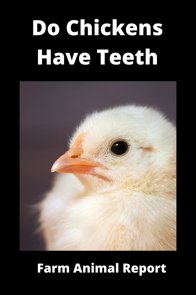 Do Chickens Have Teeth? What is Egg Tooth 3