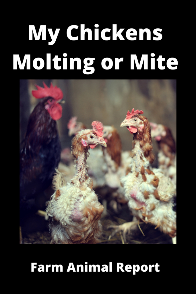 My Chickens Molting or Mites 2