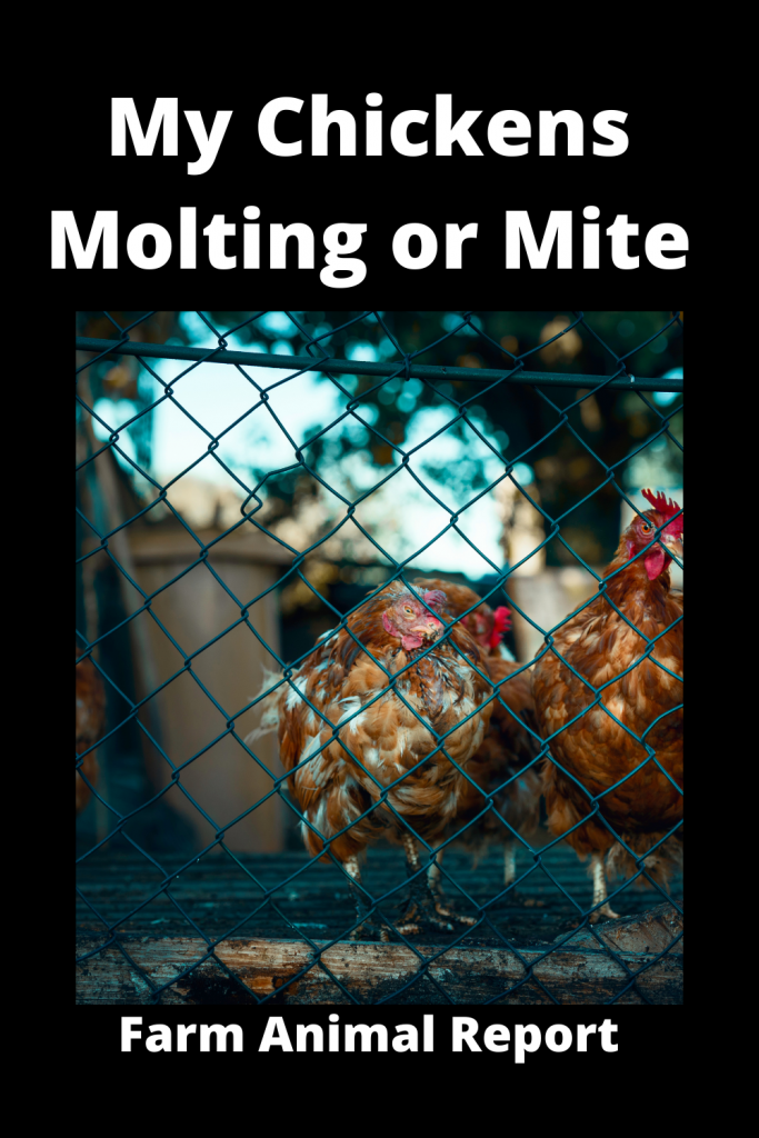 My Chickens Molting or Mites 1