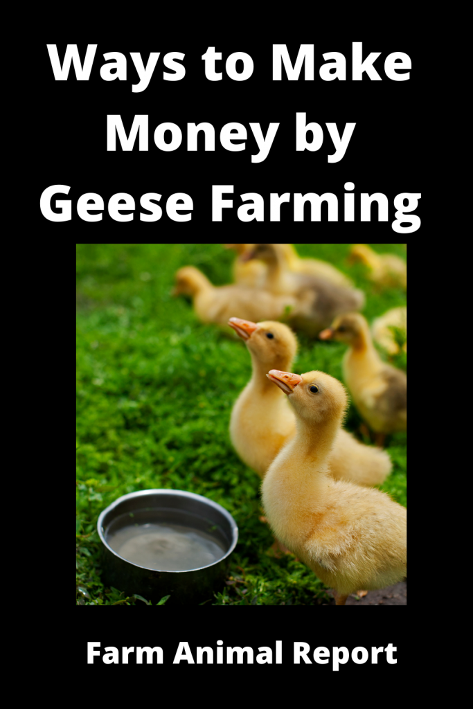 12 Ways to Make Money by Geese Farming—Extensive Guidelines for Geese Farmers 4
