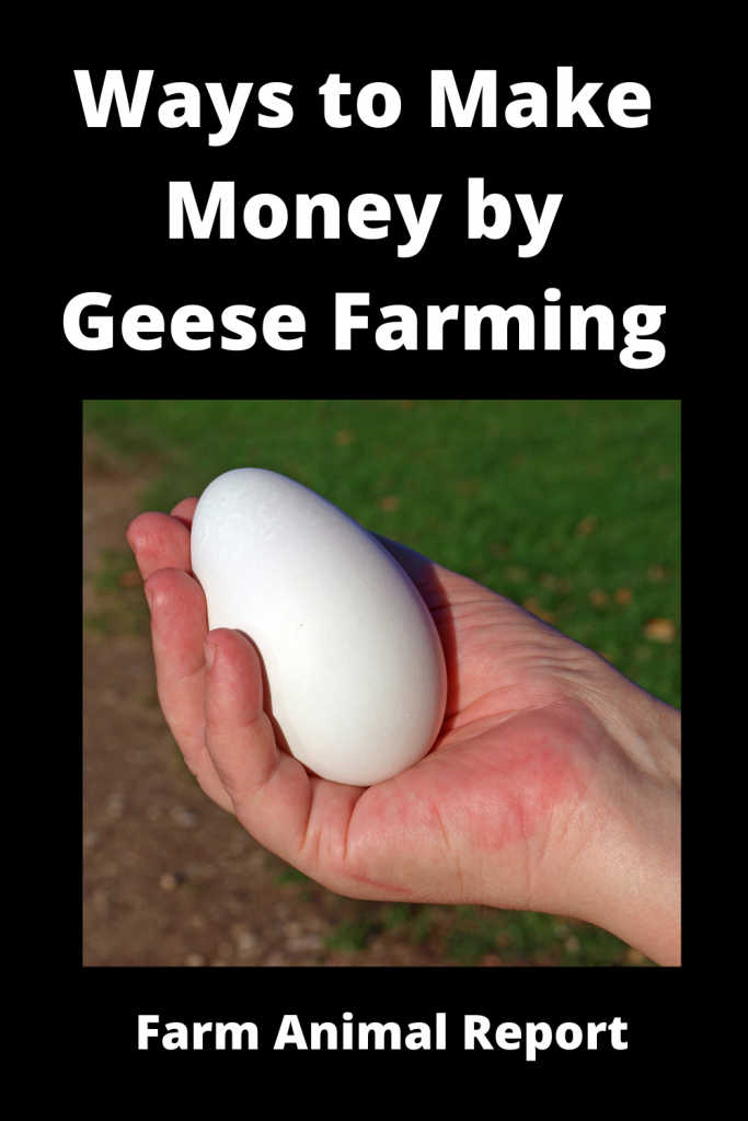 12 Ways to Make Money by Geese Farming—Extensive Guidelines for Geese Farmers 1