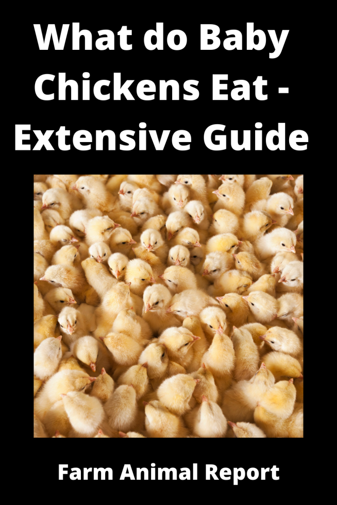 What do Baby Chickens Eat - Extensive Guide 2