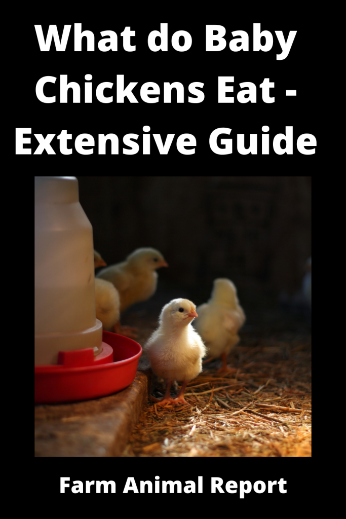 What do Baby Chickens Eat - Extensive Guide 3