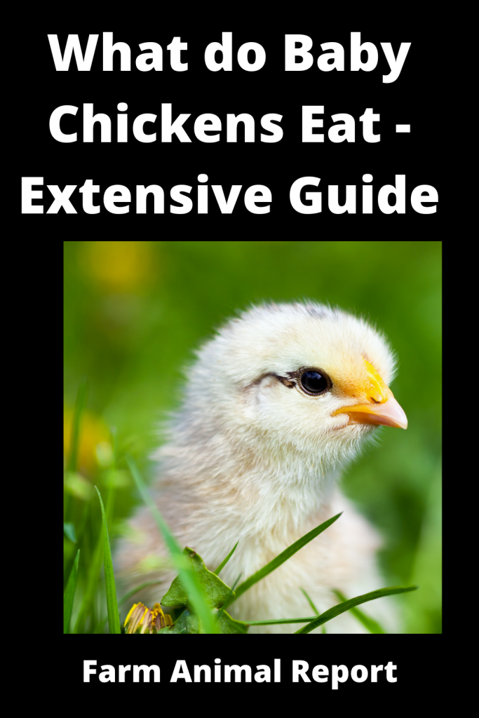 What do Baby Chickens Eat - Extensive Guide 4