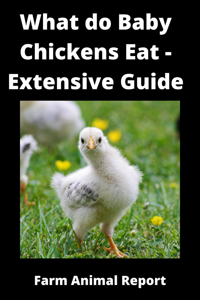 What do Baby Chickens Eat - Extensive Guide 1