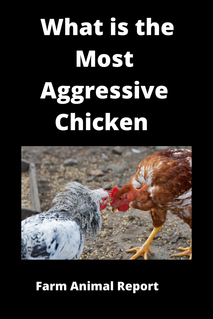 What is the Most Aggressive Chicken / 15 Qualities 2