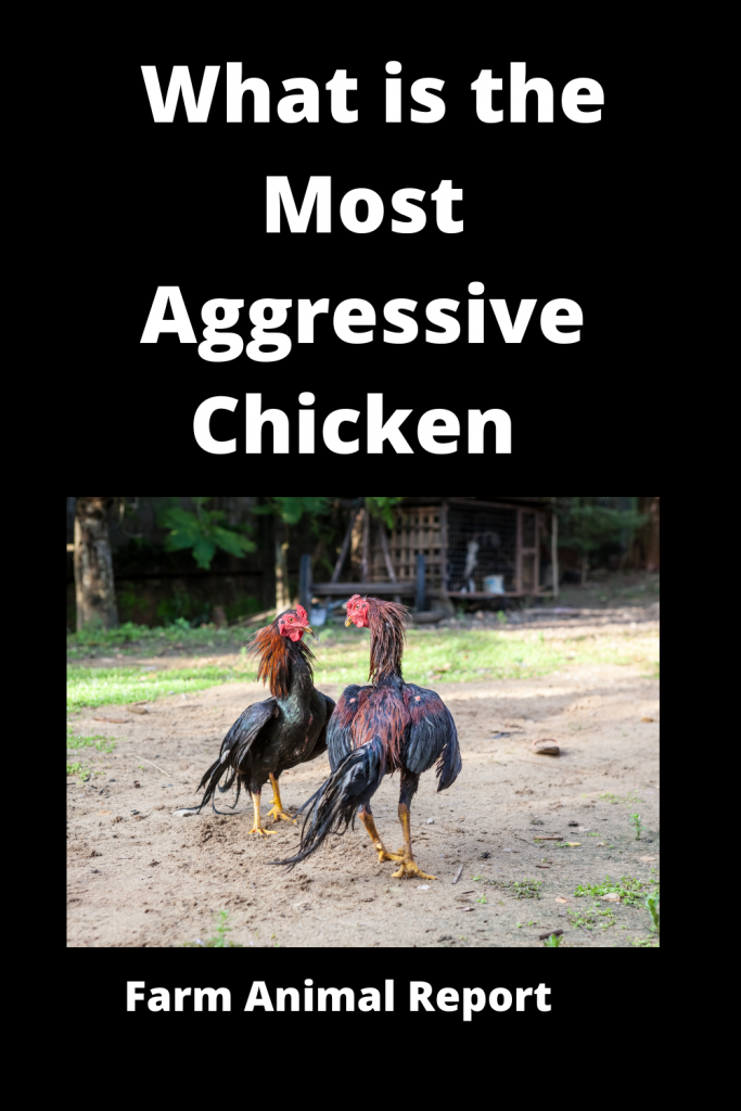 What is the Most Aggressive Chicken / 15 Qualities 4