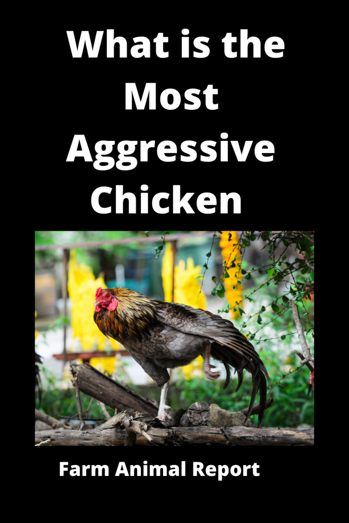 What is the Most Aggressive Chicken / 15 Qualities 1