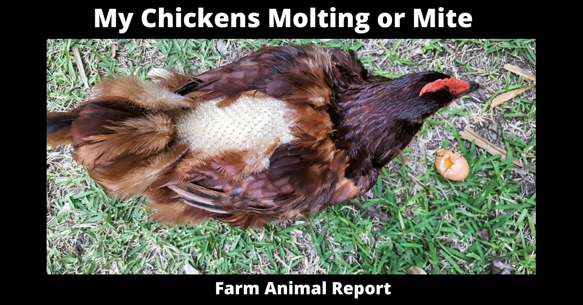 My Chickens Molting or Mites