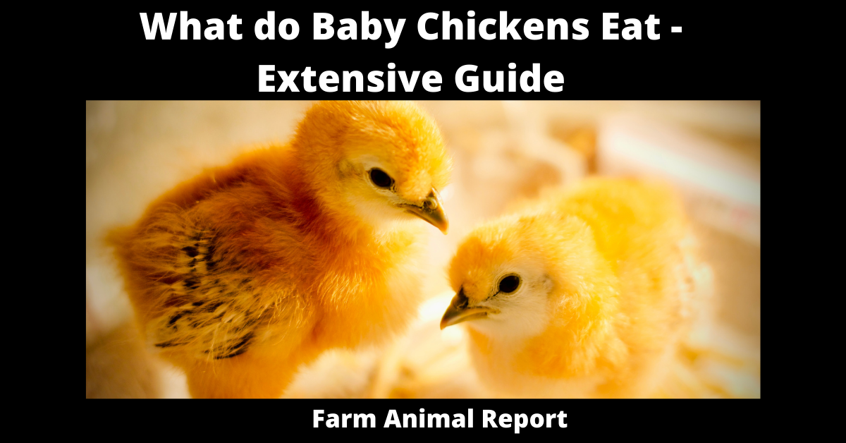 What do Baby Chickens Eat - Extensive Guide