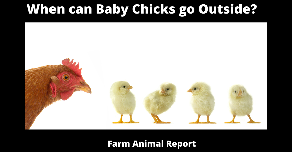 When can Baby Chicks go Outside?